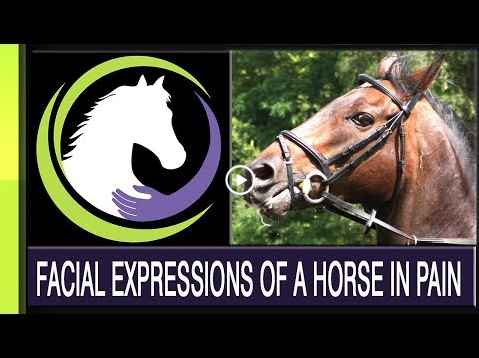 RECOGNIZING FACIAL EXPRESSIONS OF A HORSE IN PAIN: PART THREE OF A FOUR PART SERIES