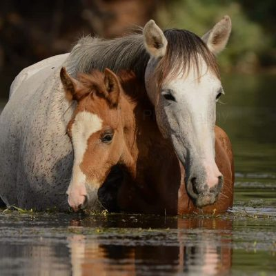 Salt River wild horses, a mare and foal grazing in the river